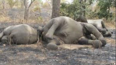 As Government Defaults On Farmers' Compensation, Elephants In Cameroon's Park Are Threatened