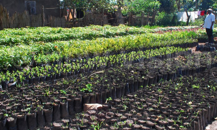 Desertification: Borno State To Begin First Phase of '10 Million Trees' Project