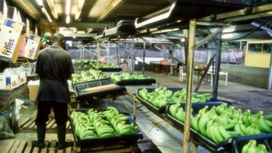 Cameroon Banana Exports Rise By 10%