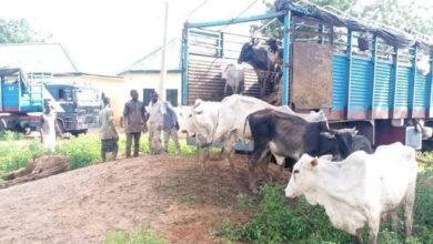Immigration Officer Arrested With Suspected Rustled Cattle in Katsina