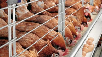 SMALL BUSINESSES SUCH AS POULTRY FARMING ARE BEING WIPED OUT IN CAMEROON DUE TO COVID-19