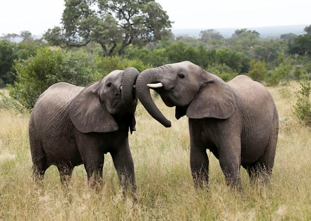 A Third Of Gabon's Elephants Killed By Poachers Within The Last 15 Years