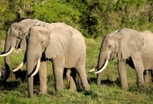 Famine Looks As Elephants Destroy Farms, Chase Villagers In Far North Cameroon